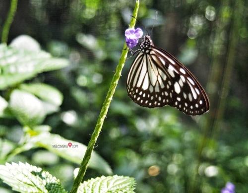 taman-kupu-kupu-lampung
