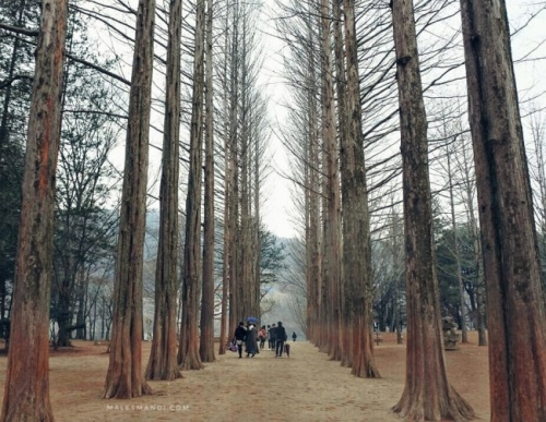 pohon-nami-island