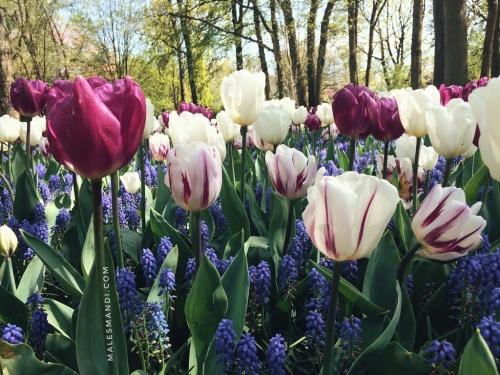 menikmati-tulip