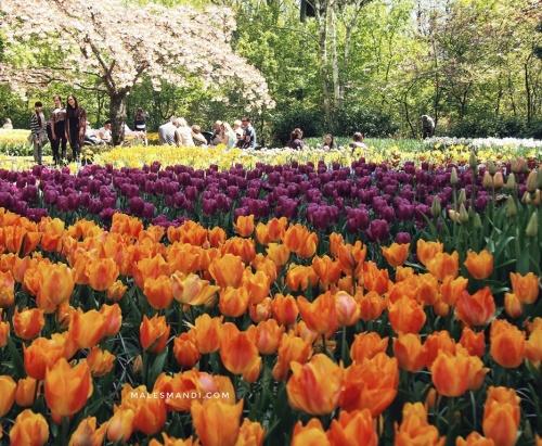 tulip-belanda