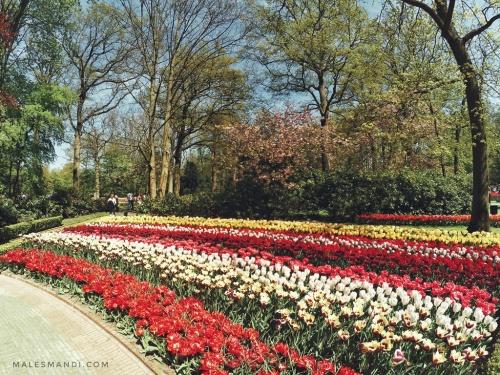 warna-warni-tulip